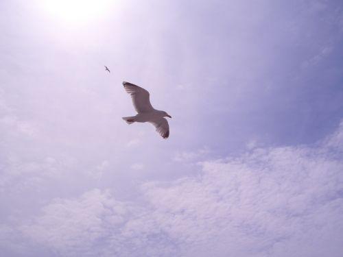 laridae seagull bird