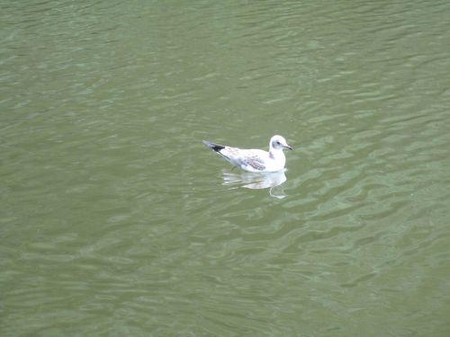 larus ridibundus black-headed gull animal young
