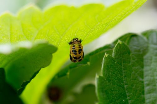 larva ladybug mummy doll