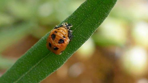 larva  beetle  ladybug