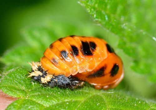 larva beetles ladybug
