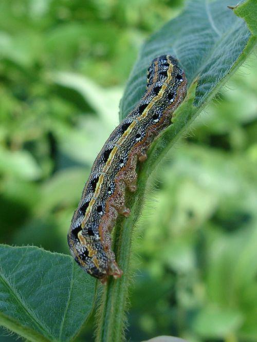 larva worm armyworm