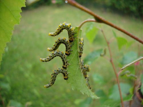 larvae dance natural