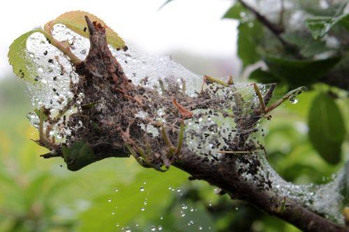 larvae nest spun yarn moth larvae