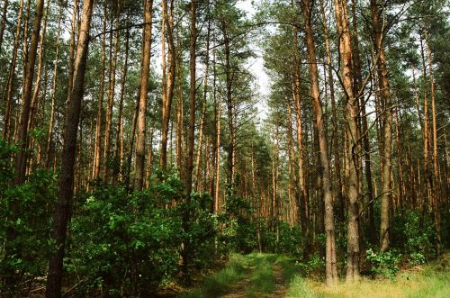 miškas, kelias, medis, Lenkija, miško sosnowica Lenkija