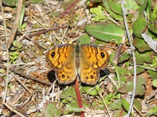 lasiommata megera butterfly margenera