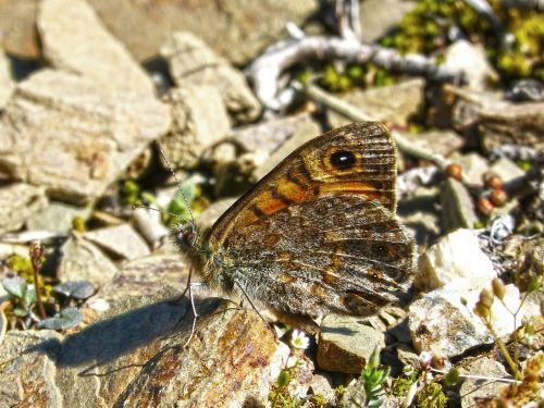 lasiommata megera butterfly saltacercas butterfly