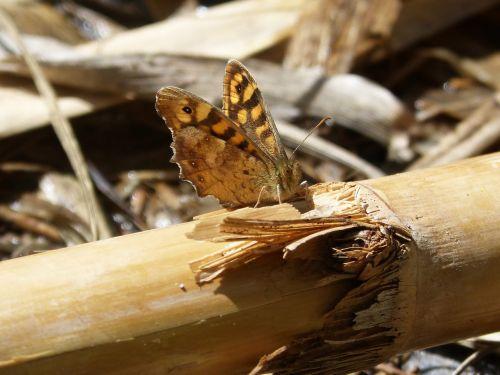 lasiommata megera,drugelis saltacercas,margenera,drugelis,lepidopteran,oranžinė drugelis,nendrės