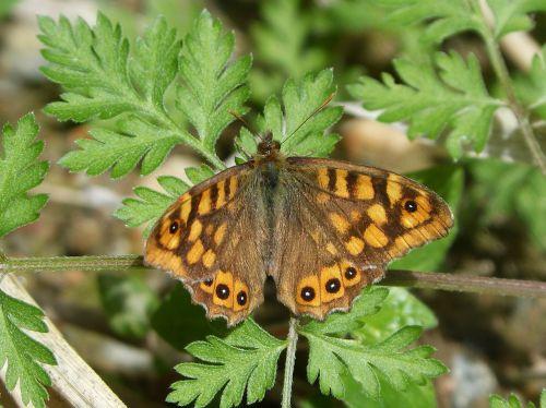 lasiommata megera butterfly saltacercas margenera