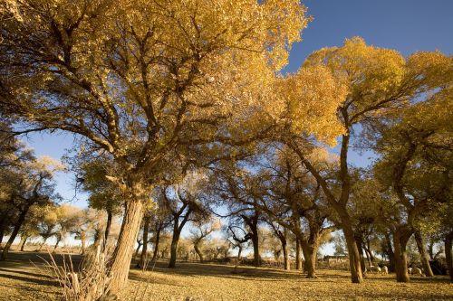 late autumn poplar desert