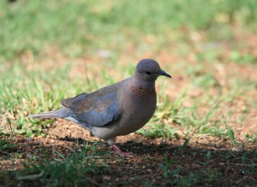 Laughing Dove In Garden