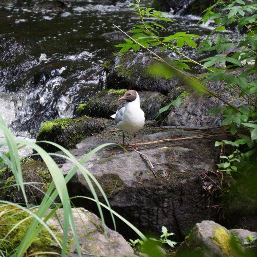 laughing gull larus ridibundus white bird