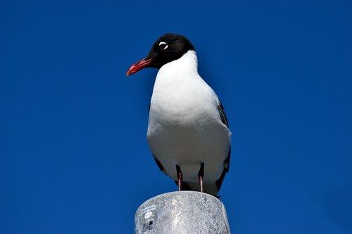 laughing gull  bird  avian