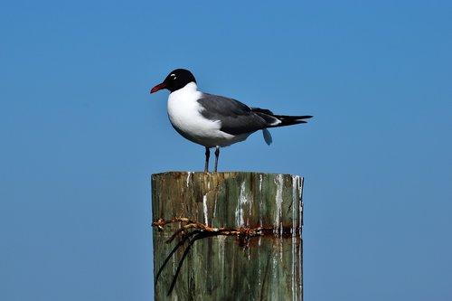 laughing gull  bird  wildlife