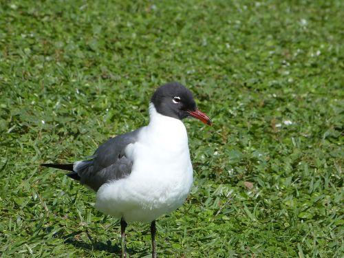 laughing gull bird watching bird
