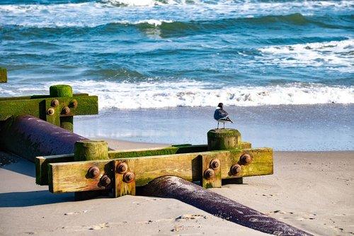 laughing gull  beach  pipeline