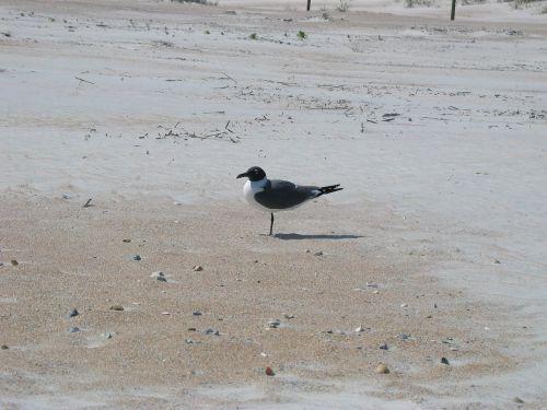 laughing gull bird beach