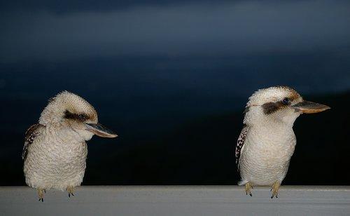 laughing kookaburra  kookaburras  two