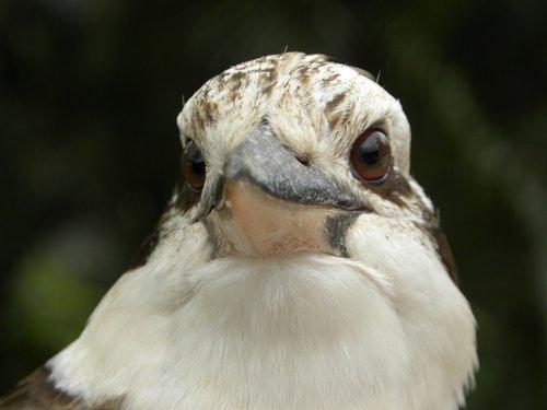 laughing kookaburra  dacelo novaeguineae  carnivore