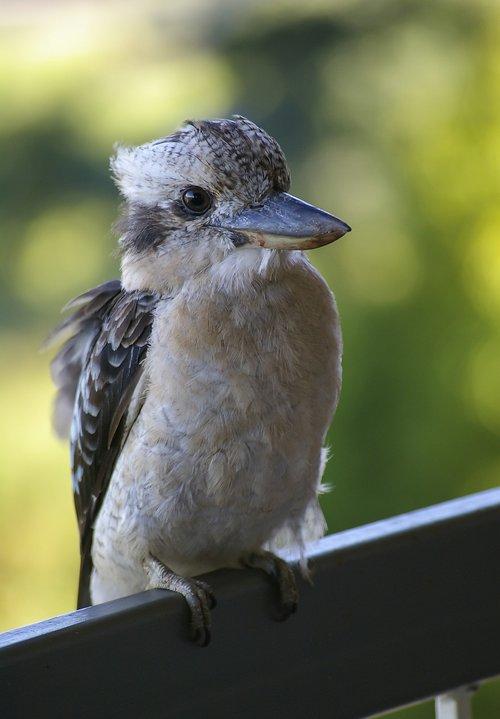 laughing kookaburra  kookaburra  bird