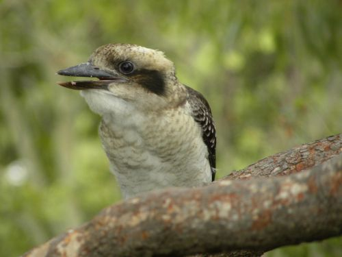 laughing kookaburra wildlife birds