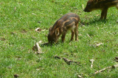 launchy boar piglet
