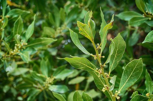laurel laurel tree laurel greenhouse