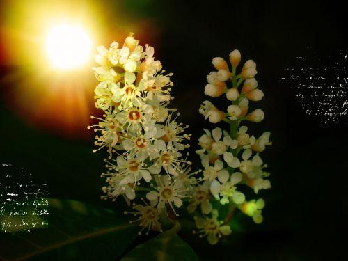 laurel blossom flowers plant