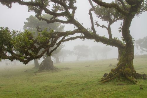 laurel forest laurel tree madeira