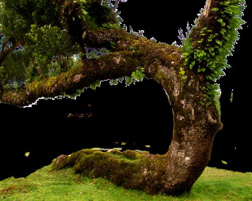 laurel tree old tree isolated