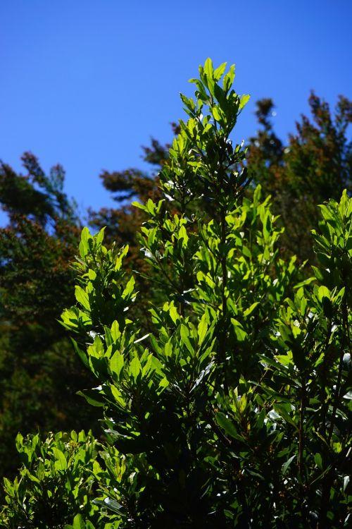 laurel tree tree canary laurel