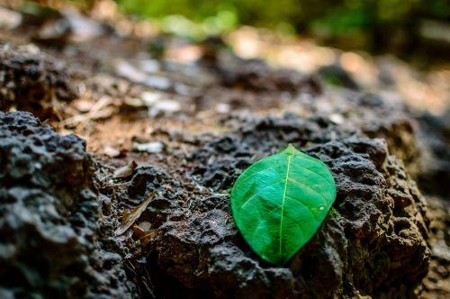 lava rock green leaf