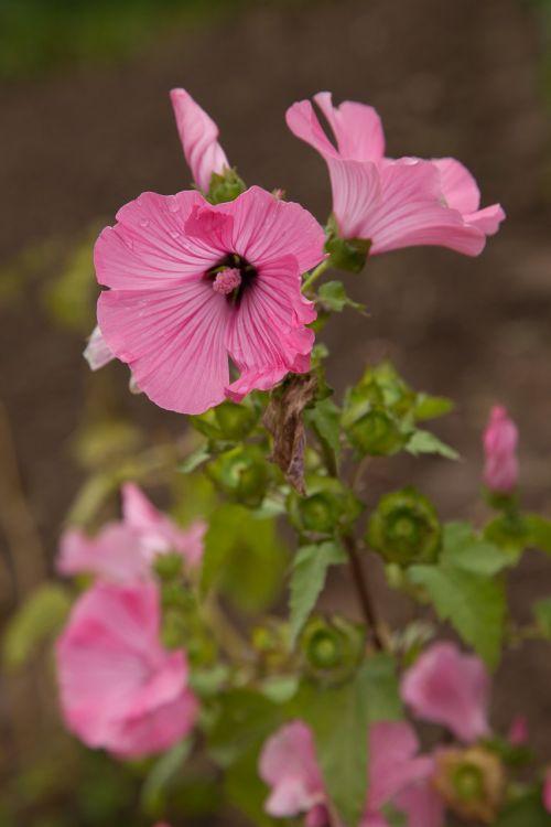 lavatera flower pink