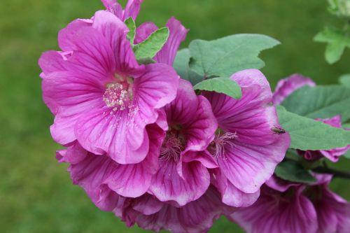 lavatera,krūmas,augalas,gėlė,rožinis,žiedlapiai,sodas,flora,krūmas,žydėti,botanika