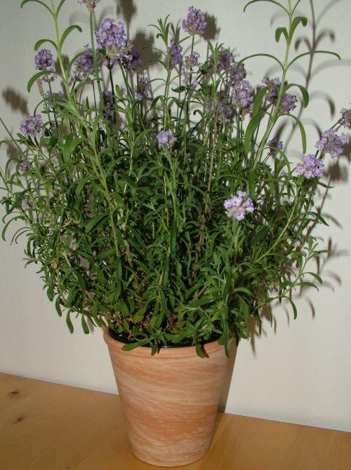 žolelės, gėlės, violetinė, puodą, molis, ruda, kvepalai, esminis, aliejus, levandų puodą