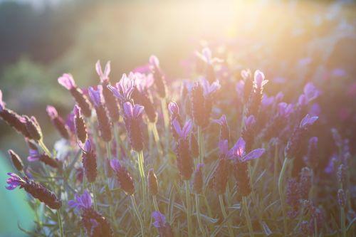lavender summer mood