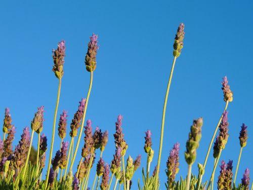 lavender flora lavender flower