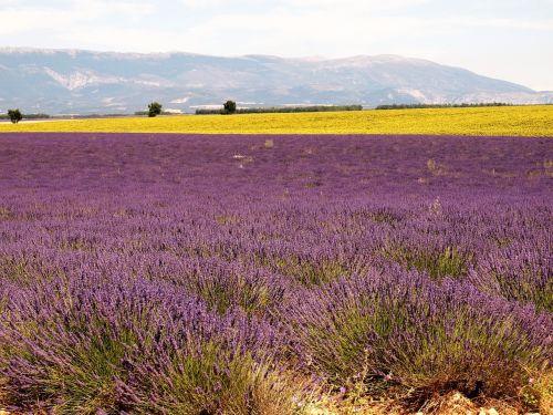 lavender drôme provence