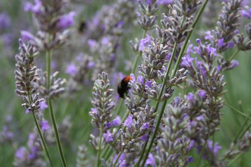 lavender insect fragrance