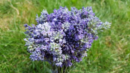 lavender lavender flowers lavandula angustifolia