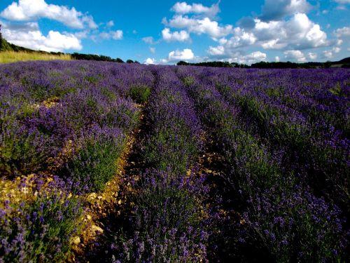 lavender lavender field lavandula angustifolia