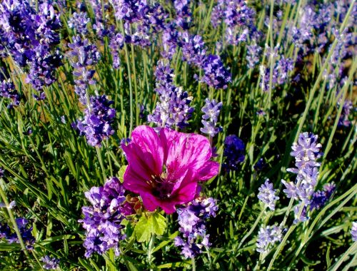 lavender lavender flowers mallow