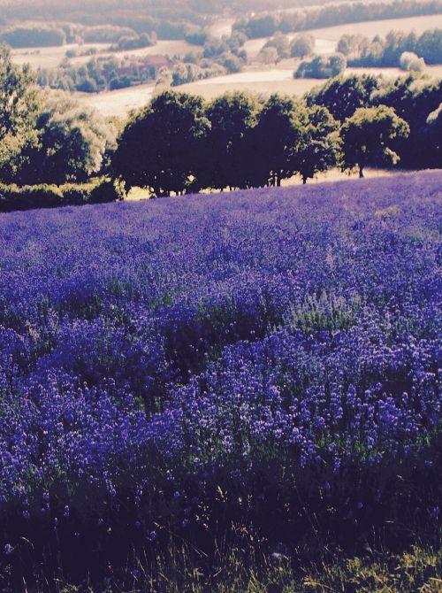 lavender lavender field lavandula officinalis