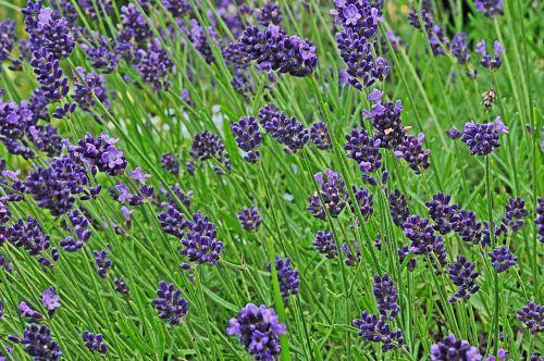 lavender garden blossom