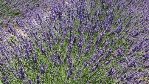 lavender lavender blossom violet