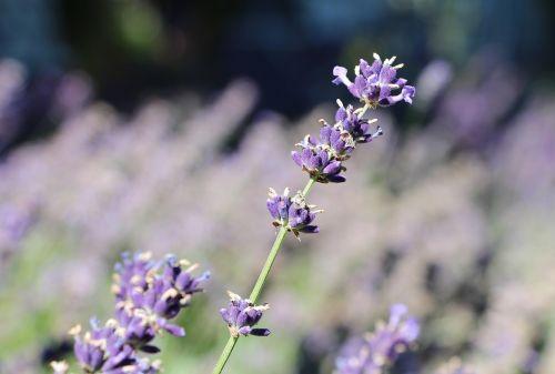 lavender blooming lavender lavender fragrance
