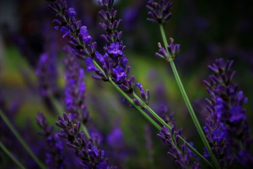 lavender flower plant