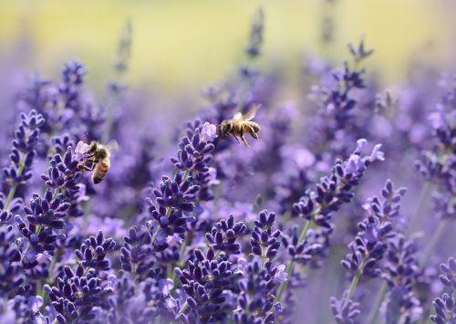 lavender bee summer