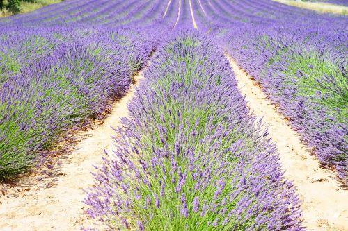 lavender lavender field lavender flowers