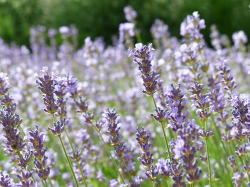 lavender lavender field lavender cultivation